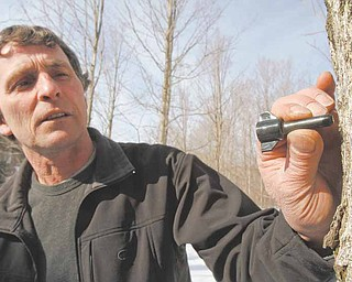 In this March 4, 2011 photo, Peter Purinton puts a check valve tap into a maple tree in Huntington, Vt.  The device was developed by maple researchers at the University of Vermont as a means of extending the six-week sugaring season. (AP Photo/Toby Talbot)