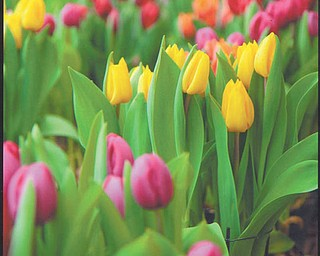 Tulips at Kraynak's Nursery in Hermitage, Pa., make a lovely and colorful sight for shoppers. Photo sent in by Pat McCamy of Austintown.