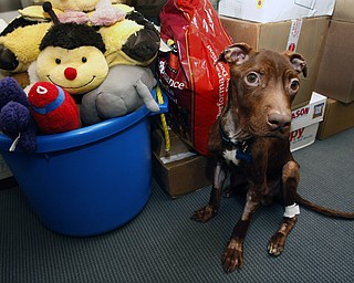 A 1-year-old pit bull nicknamed Patrick sits Tuesday near piles of gifts donated to him as he recovers at Garden State Veterinary Specialists in Tinton Falls, N.J., after being found starved and dumped in a trash chute. Kisha Curtis, 27, of Newark, pleaded not guilty to animal abuse charges. Authorities believe Curtis tied the dog to a railing in her Newark apartment building and left the state for more than a week.
