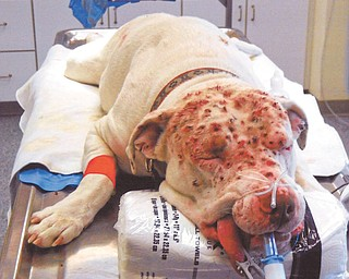 An American bulldog that was shot in Brookfield Township sometime over the weekend undergoes surgery at a local veterinarian's. The dog suffered gunshot pellet wounds to its face, but was recovering fine after Wednesday's surgery. Police and a county humane agent are investigating.