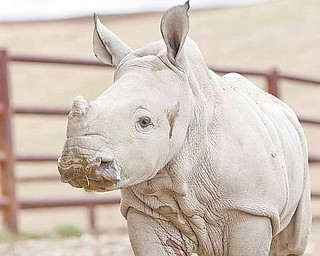 """In this photo provided by The Wilds Conservation Center,  a baby rhino stands at the Wilds conservation center in Cumberland, Ohio on April 5, 2011.   Facebook fans of The Wilds conservation center in southeast Ohio are being asked to select a name for its newest rhino: Firefly, Sparks or Spit Fire. Staff at the park selected the three options from more than 800 entries submitted by the public. The female southern white rhinoceros born in January is the first calf for 8-year-old sire Fireball. Fireball has been at The Wilds since 2008 as part of a species survival plan. Visitors can vote for their favorite name by viewing the related entry on The Wilds Facebook page and clicking the """"like"""" icon next to the name's posting."""