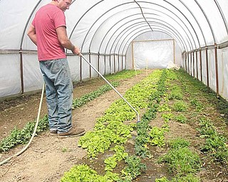 Floyd Davis, owner of The Red Basket Farm in Kinsman, waters a mixture of lettuces growing in one of his high-tunnel greenhouses. Davis cultivates pesticide-free produce all winter long and sells it at area farmers' markets and to restaurants in Cleveland.