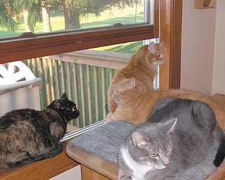 In the window are Erma, a torti, and Romeo, a main coon mix, and on the bench are Moe, a gray tabby, and Max, an orange tabby. Max and Erma were adopted 11 years ago from Angels for Animals. Suzanne Ripple says they went to get one cat but ended up with two so they could keep each other company when the family wasn't home. Her daughter was ecstatic! Because neither would sit on Suzanne's lap, they adopted Moe a year later from Angels. Romeo adopted the family three summers ago when he stayed on their deck for six weeks. They took him through the stray through program at Angels, and he became part of the family. He lives up to his name — he is the most loving cat Suzanne's ever met.