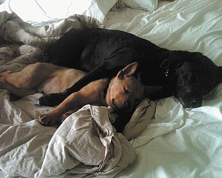 "Steve and Cathy Ferenchak of Canfield sent this picture of their two ""grandpups."" Their daughter, Angie Ferenchak, adopted Cali (the black Lab ) from a shelter three years ago and little Yashu (the brown Chow ) this year. The two dogs love each other very much and get along so well together."