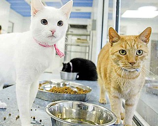 Adoptable cats at Angels for Animals, which has entered the American Society for the Prevention of Cruelty to Animals' 100K Challenge.