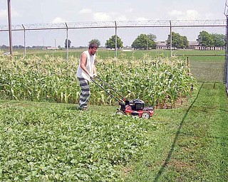 In this July 25, 2011 photo, Sandusky County Jail inmate Kyle Krotzer mows the grass around plots of corn, squash, cucumbers, peppers, lettuce and other vegetables at the jail in Fremont, Ohio. (AP Photo/Fremont News-Messenger, Mark Tower) NO SALES