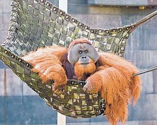 In this undated photo released  by The Columbus Zoo and Aquarium shows Willie, a 20-year-old Sumatran orangutan. Willie has died at the zoo after battling a respiratory disease for years. (AP Photo/The Columbus Zoo and Aquarium, Grahm S. Jones)
