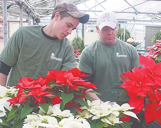Cody Parthemer, left, and Adam Adgate work with flowers at Adgate's Garden Center in Cortland. Adgate treats poinsettias to prevent white fl ies and other pests and uses growth regulators to keep the plants short, full and 