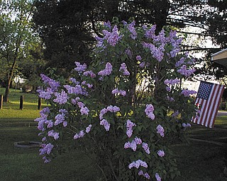 This photo of lilacs in bloom was sent in by Dorothy Soltis.