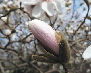 Sister Lisa Marie Belz took this photo of a magnolia bud at the Ursuline Sisters of Youngstown Motherhouse in Canfield. The photo was submitted by Michele Ristich Gatts.
