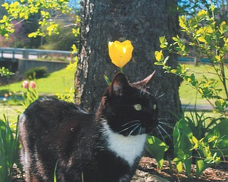 Tuxedo the cat checks out some nature at the home of owner Lana Vanauker of Canfield.