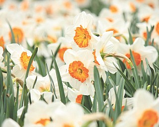 Marcie Wheeler took this photo of daffodils in late March while visiting Fellows Riverside Gardens in Mill Creek Park.