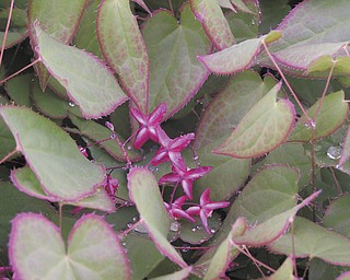 Alice Sassone's early arrival this year is Epimedium rubrum, common name, Bishop's hat. She says it's a herbaceous perennial groundcover that she's had in her garden since 1988.