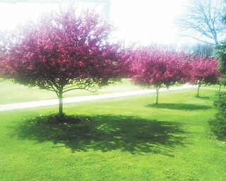 On a sunny day in mid-April, Sara Root of Liberty took this photo of purple shaded trees on the grounds at Liberty High School.