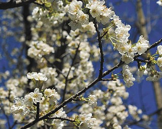 In 1976, Laurie Fox of Lowellville and her husband bought 2 acres of property in Poland Township on which to build their home. One of the trees they didn't cut down was a small wild cherry tree. Laurie says it has blossomed and produced cherries every year and was exceptionally early this year, having blossomed in March.
