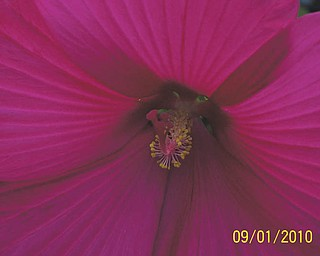 Here's a red hibiscus flower, which grew on a bush of white hibiscus flowers in the garden of Judith Ferrett of Hubbard, who sent in the photo.
