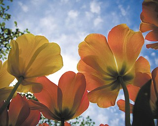 Tulips in the garden seem to be reaching for the sun. Photo submitted by Chrissy Cvetkovic of Canfield.