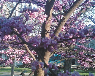 """Luanne Blake of Salem says this photo of pink blossoms just """"screams spring!"""""""