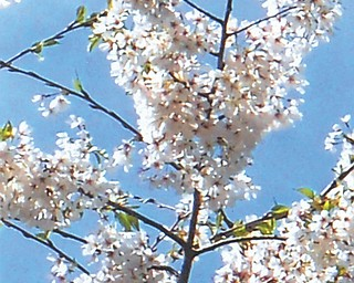 More blossoms in Mill Creek Park's Fellows Riverside Gardens, as seen by Doxie Damico of Youngstown.