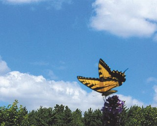A butterfly perches on a flower in the front yard of Olga Ziobert's North Jackson home.