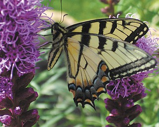 """Emilia Clune of Hermitage said, """"I noticed a very big, beautiful butterfly hanging around my flowers ... she didn't seem to mind 'posing' for a picture."""""""