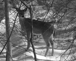 """Nancy Bigley of Austintown calls this photo """"Momma-Doe."""" She said this was taken in her back yard and there were smaller deer close to their mother."""