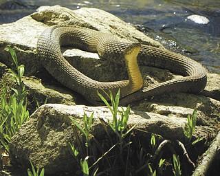 A water snake sunbathes on the rocks on the Vondergreen Trail in Beavercreek State Park. Photo sent in by David Gemmel.