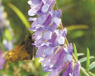 A butterfly enjoys a morning feast at Kyle State Preserve. Photo by David Gemmel.
