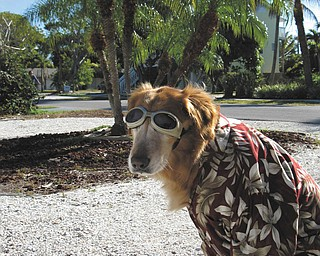 Sophie the dog, 11, is ready to hit the beach on Ana Maria Island in Florida. She belongs to Cheryl Cornelius of Canfield.