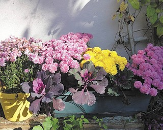 Marsha Karzmer of Boardman sent in this photo of mums and cabbage plants from her garden.