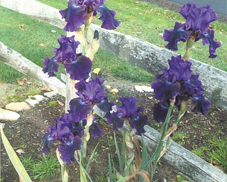 George Shedd of Hubbard sent in this photo of a some Reblooming Irises called Rosalie. The large, purple Iris reblooms in the fall after it loses its flowers in late summer.