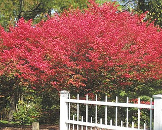 Cathy Hinderliter of Canfield submitted this photo of a Burning Bush at Mill Creek Park.