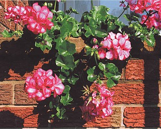 """Michael Lacivita of Youngstown says this plant was still flourishing in his flower box on Oct 26. The name of the flower is burgundy bicolor ivy geranium """"Picasso."""""""