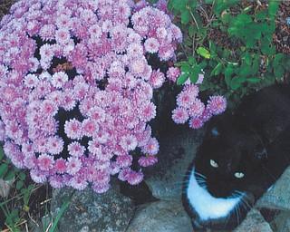 "Lana VanAuker of Canfield sent this picture of her kitty ""Tuxedo"" admiring her beautiful mums."