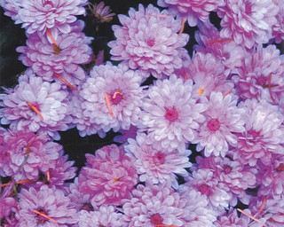 Lana VanAuker of Canfield shared these beautiful mums for this month's feature.
