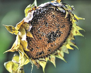 """Annette McCarthy of Austintown shot this photo, """"Expired Sunflower,"""" at a friend's place in Berlin Center in early October."""