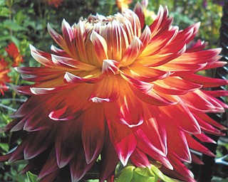 Doxie Damico of Youngstown sent in this photo of a brilliantly colored mum that was taken in early October at Fellows Riverside Gardens.