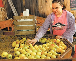 McKayla Gaus, a ninth-grader at Austintown Fitch High School, sorts through apples to pull out the bad ones at Hartford Apple Orchard. McKayla was part of a group of Fitch students who came to the orchard Tuesday to learn skills needed to be successful in the workplace.