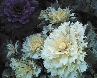 Mary Beth Czifra sent this picture of the cabbage flowers grown in the front yard of the Mineral Ridge home of her father, Louis Czifra.