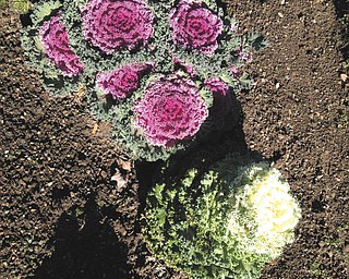 Peggy Kollar of Struthers sent this picture of her flowering cabbage.