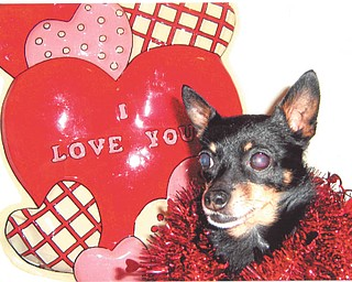 """Melody and Larry Province of Sharon, Pa., submitted this photo of their favorite Valentine, their Chihuahua-Pomeranian mix. """"Gizmo, our Chiapom, has been our Valentine for seven years now,"""" they said."""