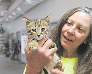 "Diane Less, co-founder of Angels for Animals, holds a female kitten, named Vindy, who was found last week by Vindicator employees outside of the newspaper's offices. Angels is offering a ""Show Us the Mommy"" program, in which participants can make an appointment and pay regular price to spay a mother cat. Each kitten will then be spayed or neutered for $20 each."