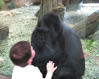 Nose to nose in a stare down with his favorite gorilla from the Columbus Zoo is Jaxson Davies, grandson of Dave and Nancy Palmer of Ellsworth, Ohio.