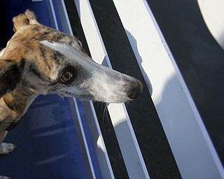 MADELYN P. HASTINGS | THE VINDICATOR..Kiley the greyhound looks out over the boat to view the lake during a Yappy Hour paddle boat ride on Lake Glacier on Friday, August 9, 2013. ... - -30-..