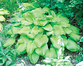 If you want to cover an area in your woodland or yard quickly with a plant that has character and blooms, the hosta is your choice. They are hardy perennial plants grown primarily for foliage. The 8,000-plus varieties registered today trace their heritage to Japan, Korea and China.