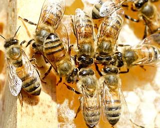 William D Lewis The Vindicator  Honey beesina hive at Fellows Riverside gardens in MCP.