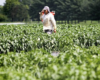 MADELYN P. HASTINGS | THE VINDICATOR..Rodolin Morales picks produce from Anguilis Farm in Canfield on August 6, 2013..... - -30-..