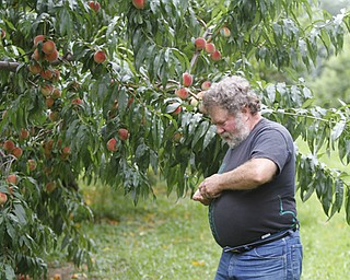ROBERT K. YOSAY  | THE VINDICATOR..John Huffman checks on his later peaches  in his orchard ..Huffmans fruit farm is faring pretty good with a wetter june and cooler july and august - crops  are slow but seem to be on target .. - -30-..