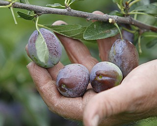 ROBERT K. YOSAY  | THE VINDICATOR..Plums  are ripening and should be ready on time..Huffmans fruit farm is faring pretty good with a wetter june and cooler july and august - crops  are slow but seem to be on target .. - -30-..