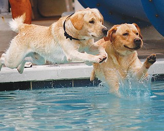 One-year-old Lab brothers Rafer, left, and Red leap into the pool at the Pooch Pentathlon at the Davis Family YMCA in Boardman on Sunday. The dogs vied in five athletic competitions including leap dog, fetch, doggie paddle, treasure dive and agility course.